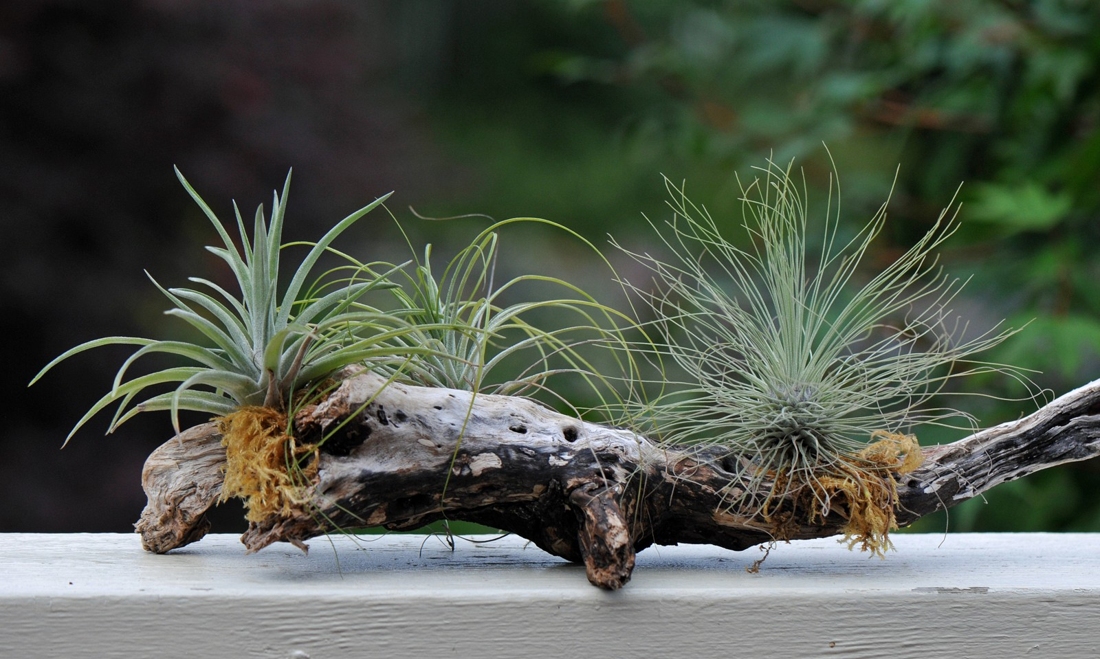 Buying And Displaying Air Plants Tips For Beginners