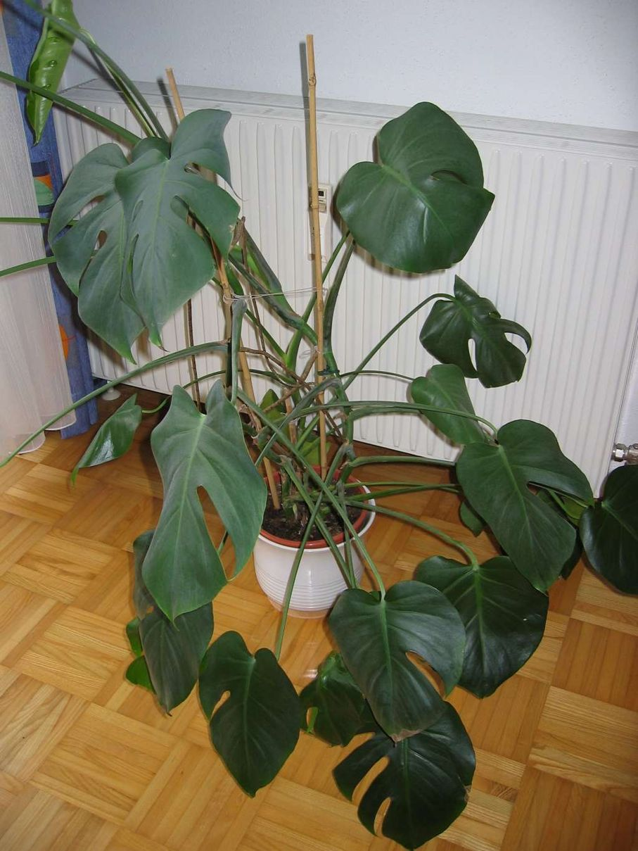 Monstera Deliciosa What It Is And How To Care For It