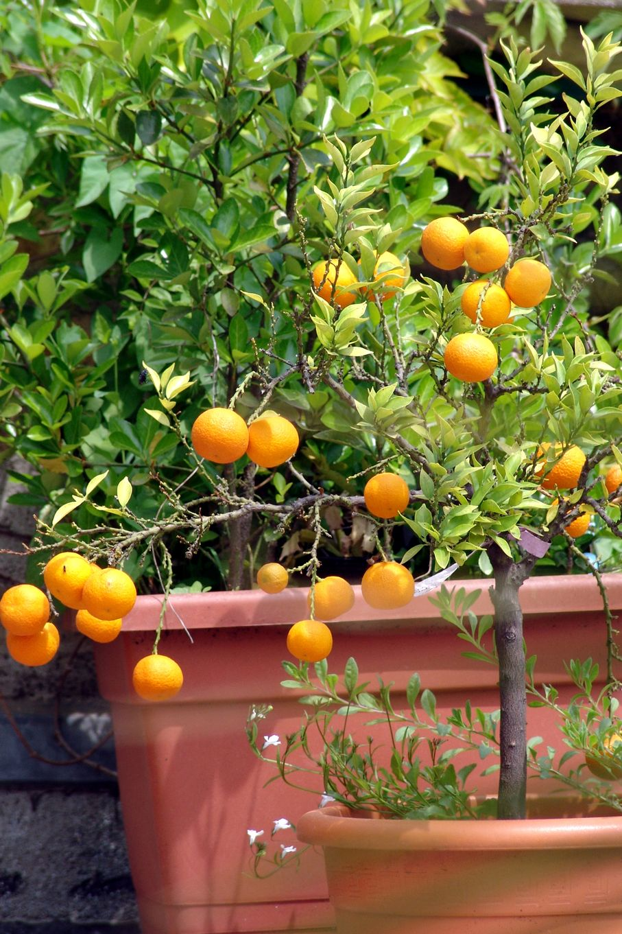Citrus tree in pot on the terrace