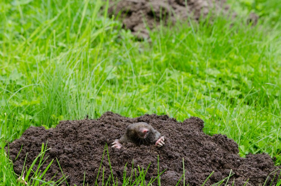 Mole put out his head from molehill hole