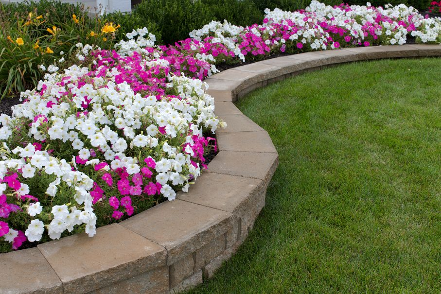 Pink and White petunias on the flower bed