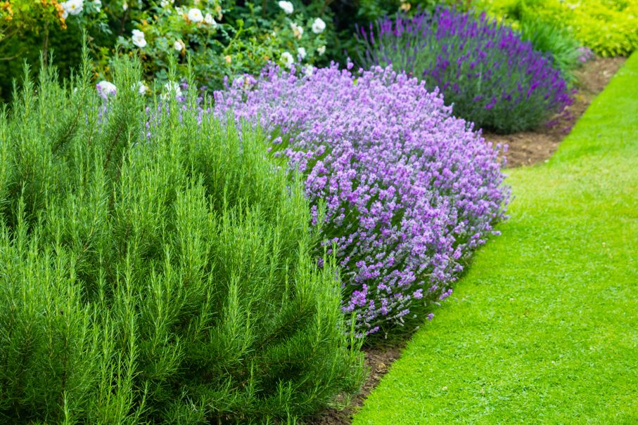 Beautiful summer garden with blooming lavender and various plants