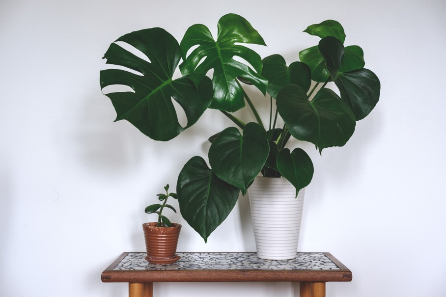 Monstera Deliciosa What It Is And How To Care For It House Tipster