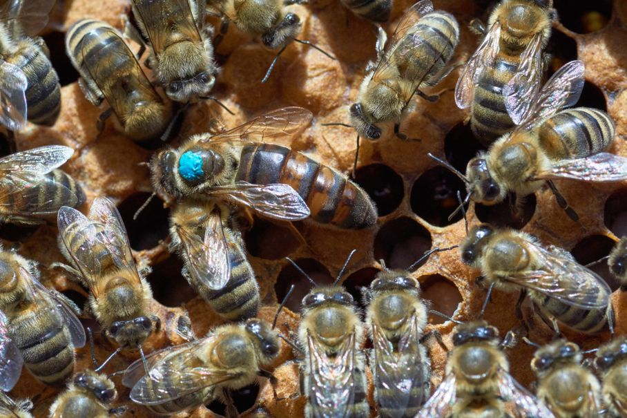 Larger queen bee marked with blue paint among smaller worker dones