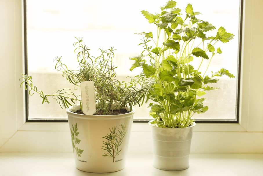 Rosemary and lemon balm on windowsill